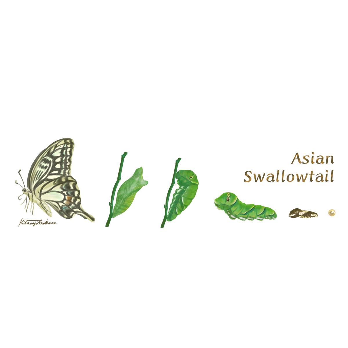 Asian  Swallowtailシリーズ