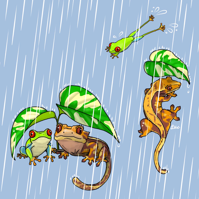 雨の日のアカメアマガエルとクレステッドゲッコー