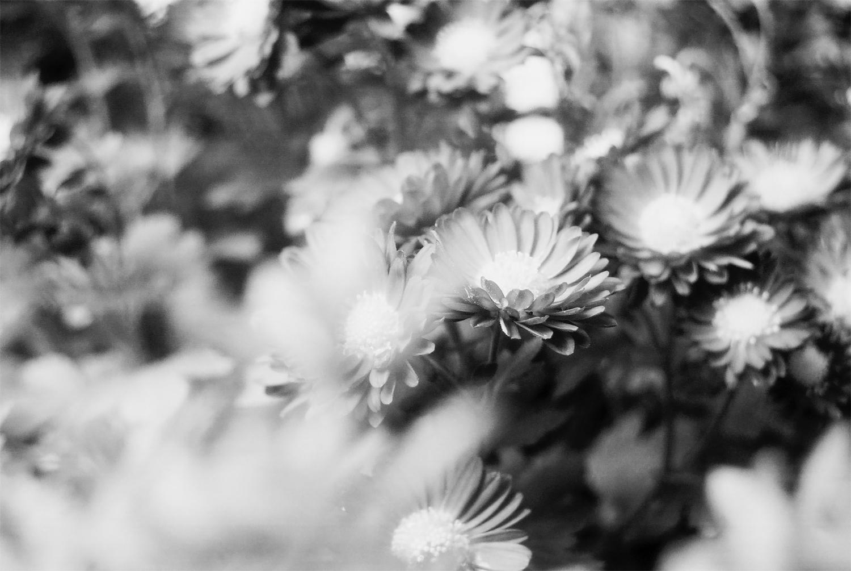 花の写真(モノクロ)
