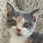 ねこのジゼル ( cat_giselle )