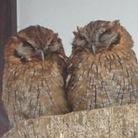 Hoot-Hoot ( owl_ohoh )