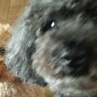 もふもふ先輩 ( poodle2 )