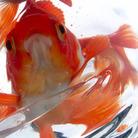 ふくろ金魚 ( fukurokingyo )