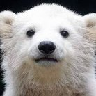 白熊 ( shirokuma_naz )