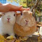 うさぎのまるゆき ( rabbit_marupii )
