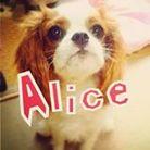 Alice ( cavalier0305alice )