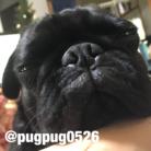ぱぐしき会社 どん ( pugpug0526 )