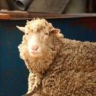 電気羊の夢 ( sheepelectric )
