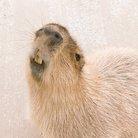 カピ族の集い ( capybarafun )