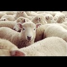 sheepmen ( sheepmen1 )
