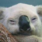 MCコアラコアラ ( mc_koala_koala )