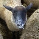 めぇめぇ羊 ( Tsan_sheep )