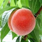 もものかんづめ ( peach_kan_dume )