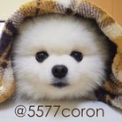 白ポメラニアン コロンちゃん ( 5577coron )