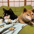 柴犬と柴犬 ( pyonkosu1201 )