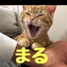マンチカンのまる ( munchkin-maru )