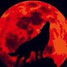 孤独な銀狼 ( silver_wolf_000 )
