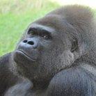 ゴリラエ ( gorilla_espe )