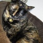 すみれ猫 ( Viola )