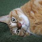 ねこかわいい ( abdn_cat )