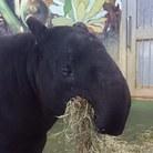 たぴるす ( tapirus_malayan )