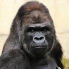 ゴリラ ( gorilla0513 )