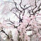 桜花☆ ( KeikOhka )