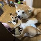 秋田犬ももと柴犬むぎ ( momo25ne-ne )