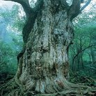 縄文杉 ( tamotsuda )