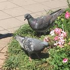 pigeon ( fujiiro411 )