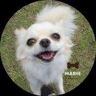 Marie ( marie_chihuahua )