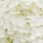 白雪 ( shirazira )