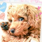 トイプードル♡Merry ( Chipoyon )