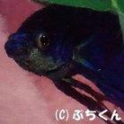 熱帯魚ベタぷちくんショップ ( Petitkun )