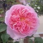 風の色 ( lily3918 )