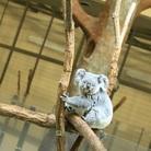 I<○αlα🐨 ( Koala )