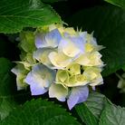 ホワイトブーケ ( white-bouquet )