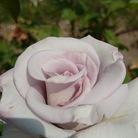 薔薇屋 ( mujina3color )