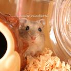 ハムスターのおもち ( hamster_omochi890 )