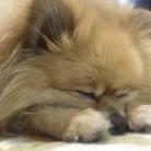 あんず ( mini_mini_dog )