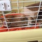 Kikuyo Goto exotic rodent ( gotokikuyo )