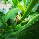 カエル研究員 ( Frog_Researcher )