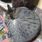 キジトラ猫ミミ ( b7879era3590 )