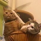 しそちゃんちの🐈 ( tu_mi_re_cat )