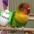 Love Birds 🐥 ( lovebird_chan )