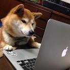 柴犬テツ ( tetsu_shiba4815 )