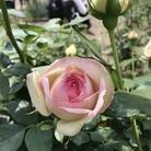 cotton flower ( cotton-7 )