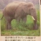 ネパールの象 ( DENPUN_GLUE )