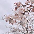 桜💫 ( sa_ku_ra_meri )