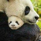 🐼調教済🐷耳豚🐷大熊猫ダークノワールブラックシュバルツ🐼 ( aki_panda_aki )